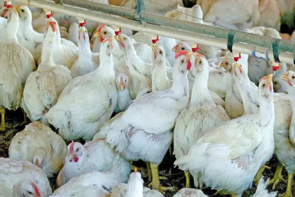 महाराष्ट्र: मुर्गियों ने अंडा देना किया बंद तो पुलिस के पास पहुंचा पोल्ट्री फार्म का मालिक